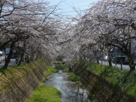 内子・郷之谷川のしだれ桜 2
