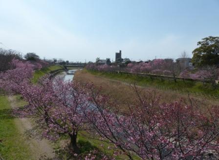 岩堰 の 陽光 (桜) 1
