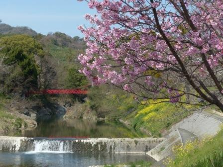 岩堰 の 陽光 (桜) 3