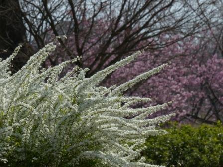 ユキヤナギ & 陽光 (桜)
