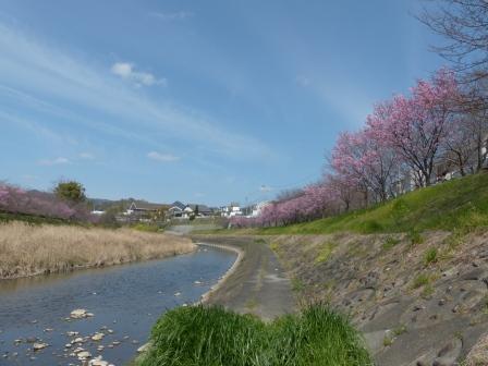 岩堰 の 陽光 (桜) 2