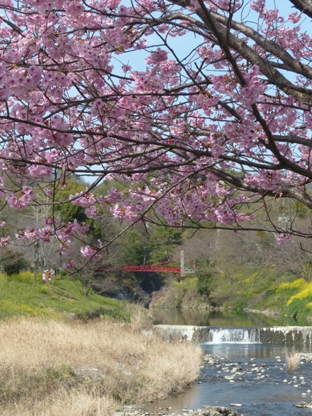 岩堰 の 陽光 (桜) 4