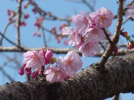 岩堰 の 陽光 (桜) 5