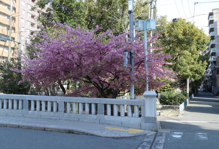 戻橋河津桜