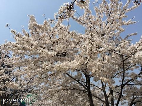 漢江公園_桜_2016年4月 (4)