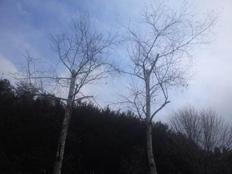 山梨県北杜市小淵沢町 伐採4