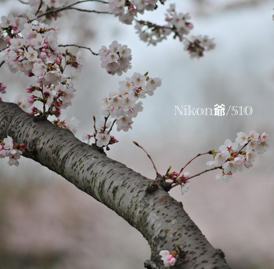2016 04 01 桜 D3x JPEG S