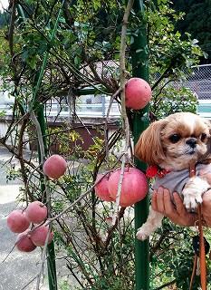 りんごのきじゃない