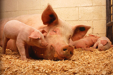 375px-Sow_and_five_piglets.jpg