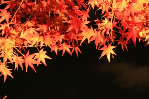 2015 白鳥庭園 紅葉 夜 05