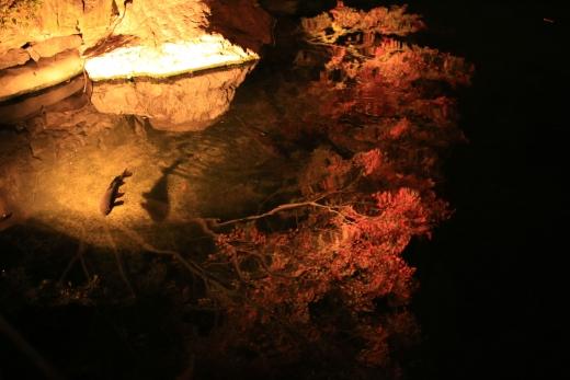2015 白鳥庭園 紅葉 夜 07