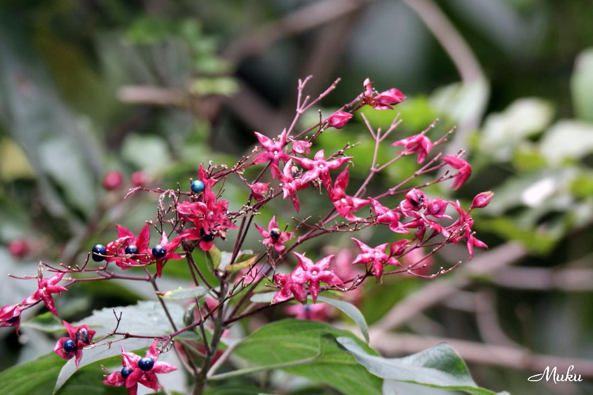 臭木(くさぎ)の花もみじ