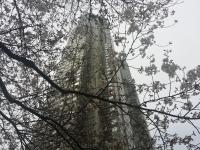 都庁前の桜