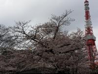 増上寺横の桜