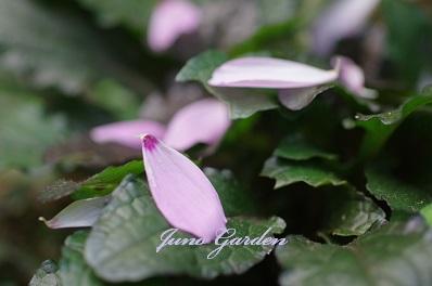 コスモスの花びら1520
