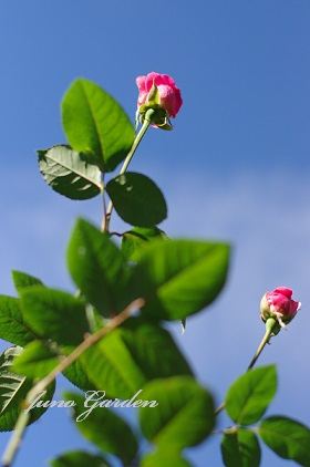 ピンクのバラ1526