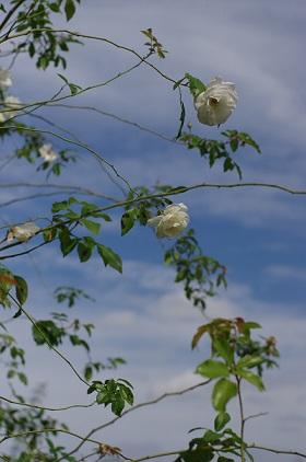 白バラ1527