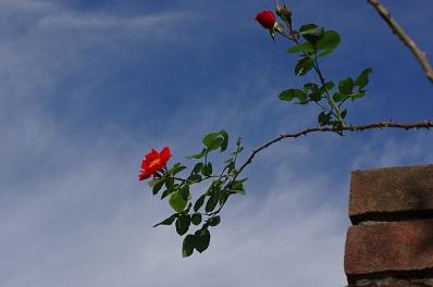 赤バラ1527