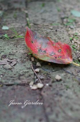 柿の葉151110