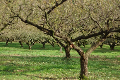 梅の木151115