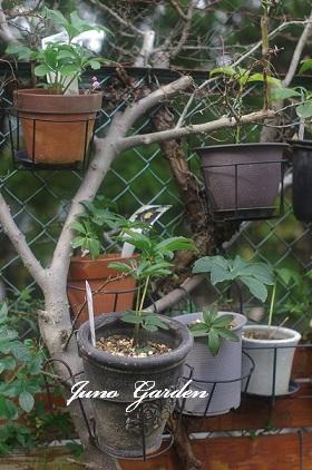 山椒の木1130