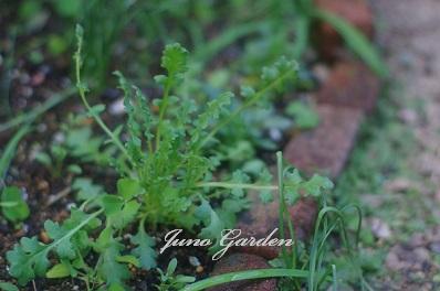 花壇のネモフィラ1205