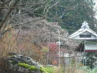 2015-11-22sakura-013.jpg