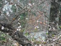 2015-11-22sakura-015.jpg
