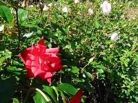 2015-09-19-秋バラ園ー233