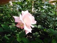 2015-09-19-秋バラ園ー268