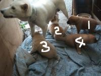 16シロの子犬達023(2)