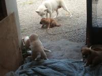 15シロの子犬達020