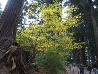中尊寺菊祭り2015-10-31-016