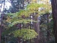 中尊寺菊祭り2015-10-31-033