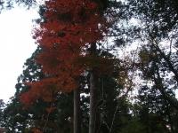 中尊寺菊祭り2015-10-31-045