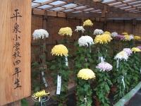 中尊寺菊祭り2015-10-31-052