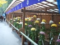 中尊寺菊祭り2015-10-31-051