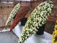 中尊寺菊祭り2015-10-31-056