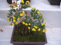 中尊寺菊祭り2015-10-31-054