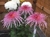 中尊寺菊祭り2015-10-31-065