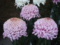 中尊寺菊祭り2015-10-31-063