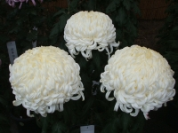 中尊寺菊祭り2015-10-31-062