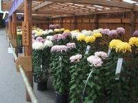 中尊寺菊祭り2015-10-31-060
