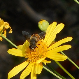 ⑬花のオアシス ミツバチ 20151009