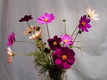 ②北根コスモス祭りコスモスの花を活ける