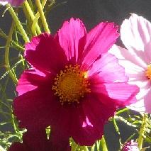42 赤いコスモスの花言葉
