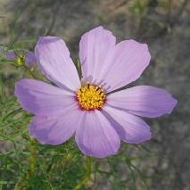 47 薄紫のコスモスの花言葉は・・・