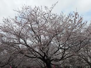 ①あかぎ公園の桜20160401