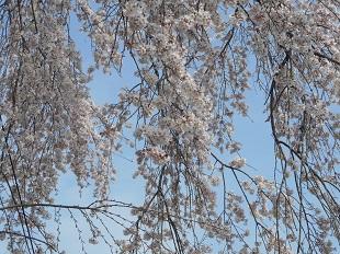 ④ふるさと館の桜20160401