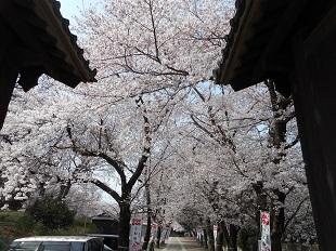 ⑦勝願寺の桜20160401
